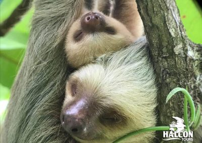 sloth and baby