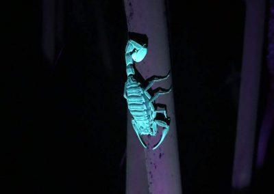 night scorpion in manuel antonio national park